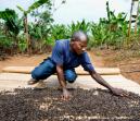 Trabajador de secado de granos en cafetal de Kagera
