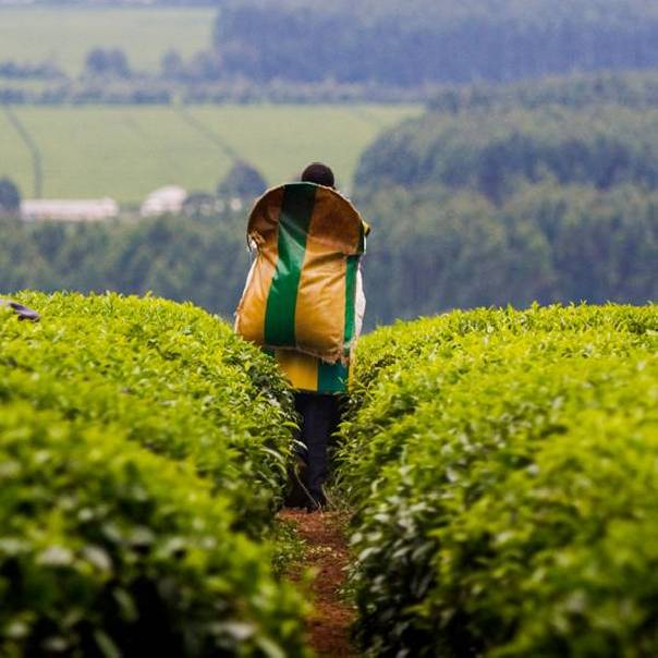 Is it better to drink organic tea?
