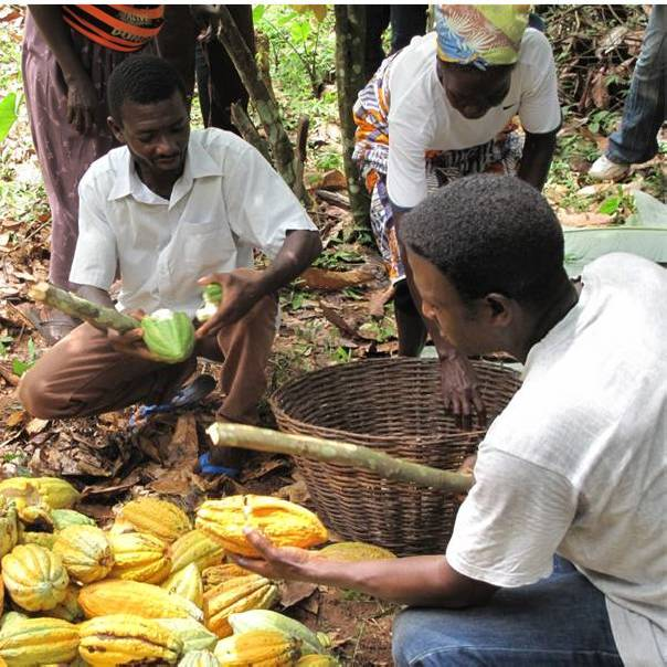 African cocoa is revolutionized